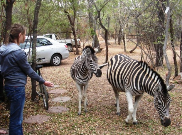 Zebras Soek Eetgoed