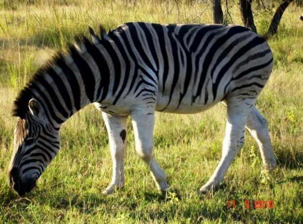 Wild Zebra 640×480