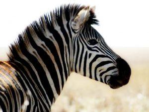 Wild Zebra Logo 640x480