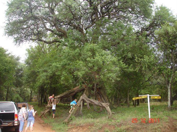 Kameeldoringboom