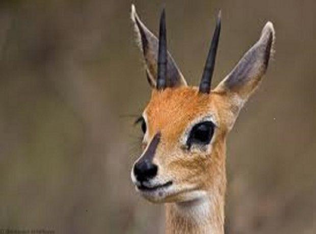 Steenbok Geeste