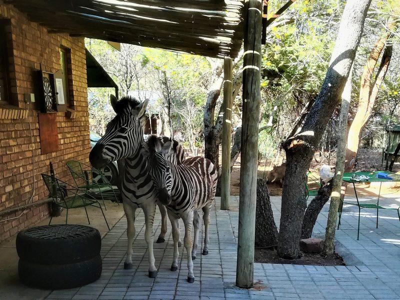 Zebra en Vulletjie